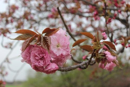 IMG_3911桜