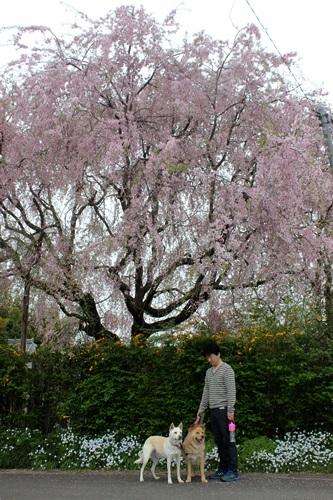 IMG_3937桜