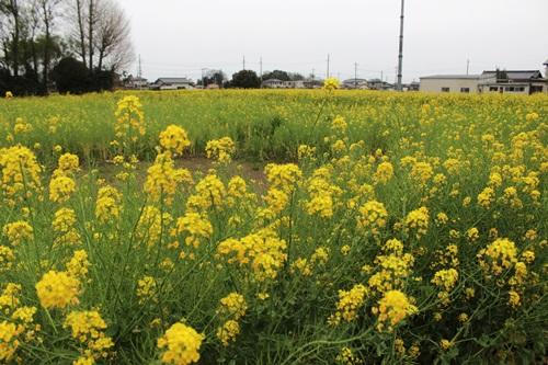 IMG_3923菜の花