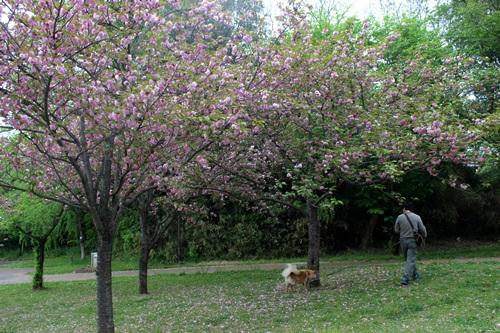 IMG_3996S桜