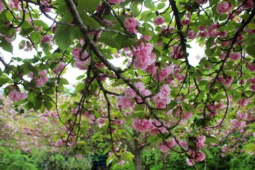 IMG_3995桜