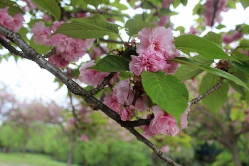 IMG_3994桜