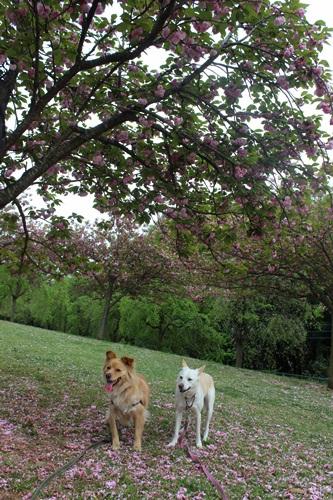 IMG_3992桜