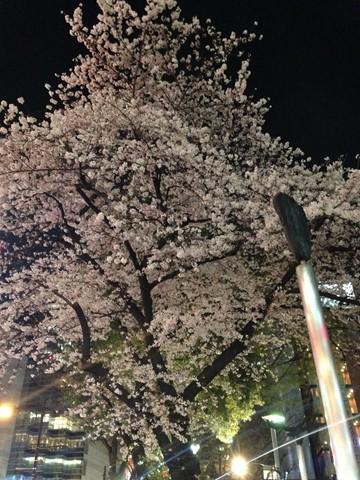 夜桜 (コピー)