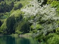 四尾連湖とズミ