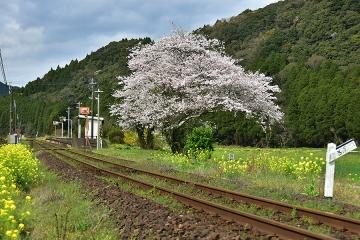 駅・桜情景2016(26)