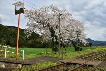駅・桜情景2016(28)