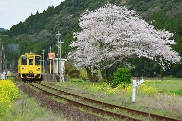 駅・桜情景2016(30)