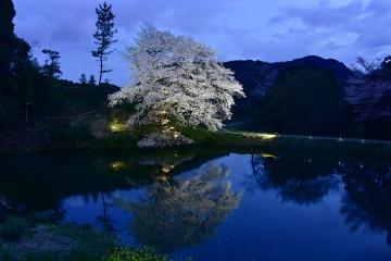 桜情景2016(38)