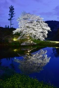 桜情景2016(39)