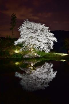 桜情景2016(40)