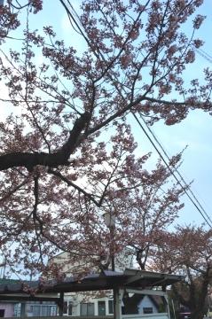 芦野公園桜4-20 (1)_600