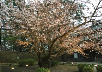 最古の桜_600