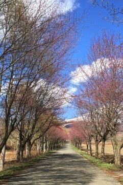 桜並木4-30_600
