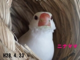 まだ3羽巣にいますが、、もう少し頑張ってニナママ!
