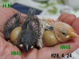 先に挿し餌開始の上の子2羽