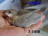 HN50羽がふっさり