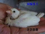 HN51羽ふっさりにはまだ?