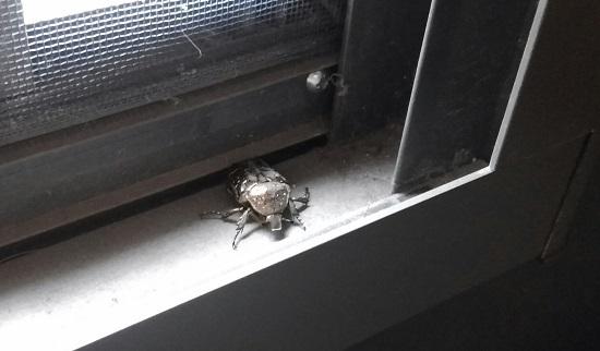 玄関ドアにコガネムシ