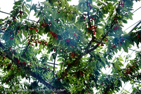 まるせい果樹園◇さくらんぼの木