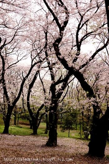 代々木公園の桜2016