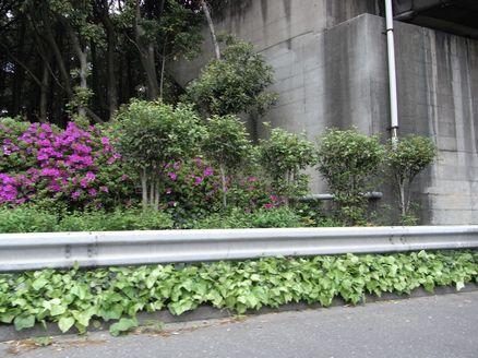 京葉道路で咲くツツジ