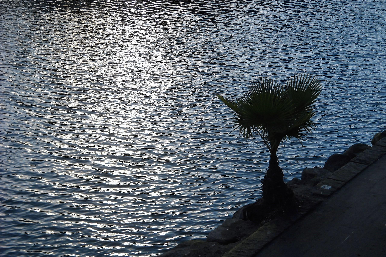 川岸のソテツ 夕方