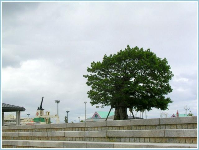 曇天のアコウの木