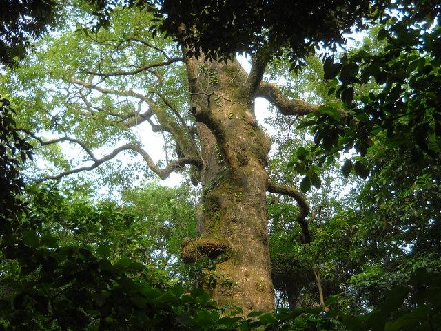 城山の巨木
