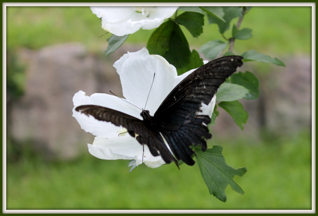 蝶とムクゲ