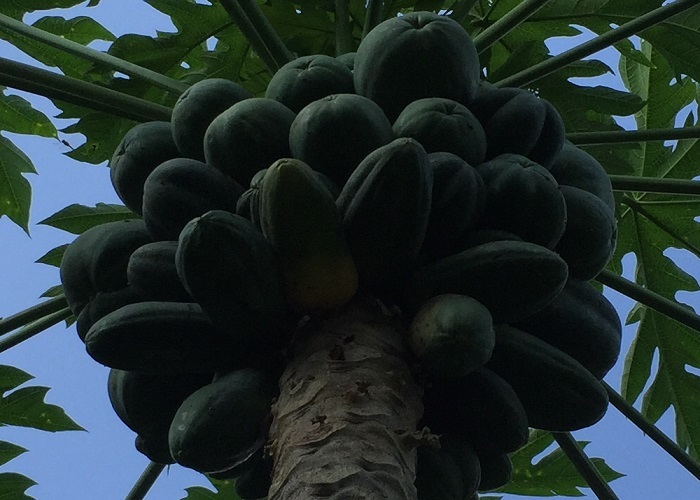 パパイアの木