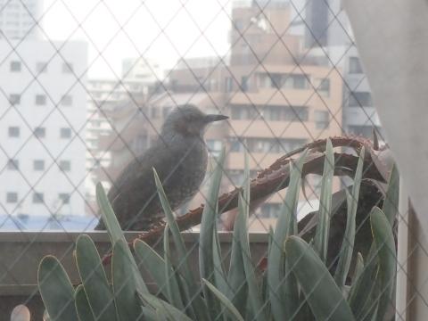 ベランダに野鳥