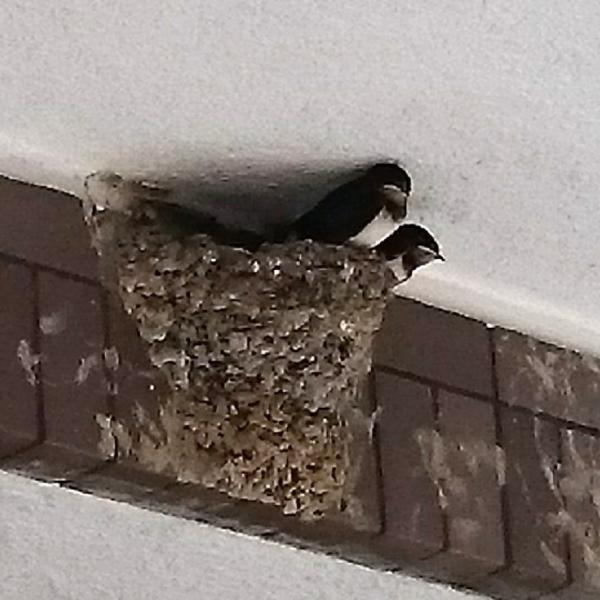 巣立ちが始まった燕たち
