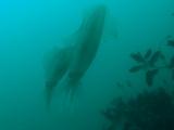 アオリイカの産卵とヘッドワースト潜降 (1)