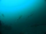 アオリイカの産卵とヘッドワースト潜降 (2)