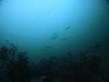 アオリイカの産卵とヘッドワースト潜降 (3)