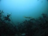 アオリイカの産卵とヘッドワースト潜降 (4)