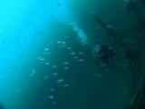 アオリイカの産卵とヘッドワースト潜降 (8)