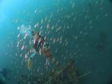 アオリイカの産卵とヘッドワースト潜降 (9)