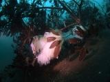 アオリイカの産卵とヘッドワースト潜降 (10)