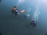 アオリイカの産卵とヘッドワースト潜降 (13)