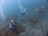 アオリイカの産卵とヘッドワースト潜降 (14)