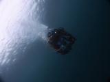 アオリイカの産卵とヘッドワースト潜降 (18)