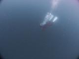 アオリイカの産卵とヘッドワースト潜降 (19)