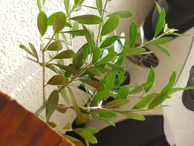 カレントブルーのオリーブの木 (1)