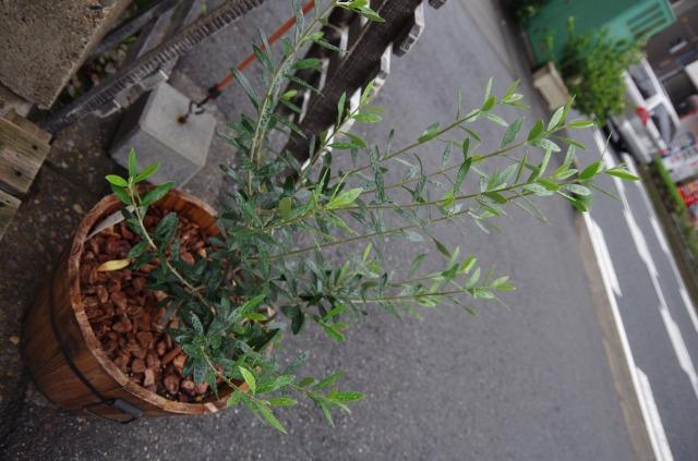 市川オリーブの木 (2)