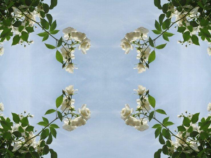 rose4-44s.jpg