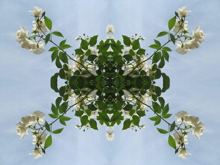 rose4-45s.jpg