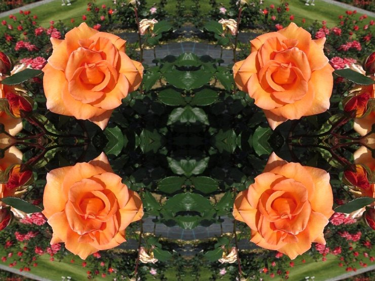 rose4-50s.jpg