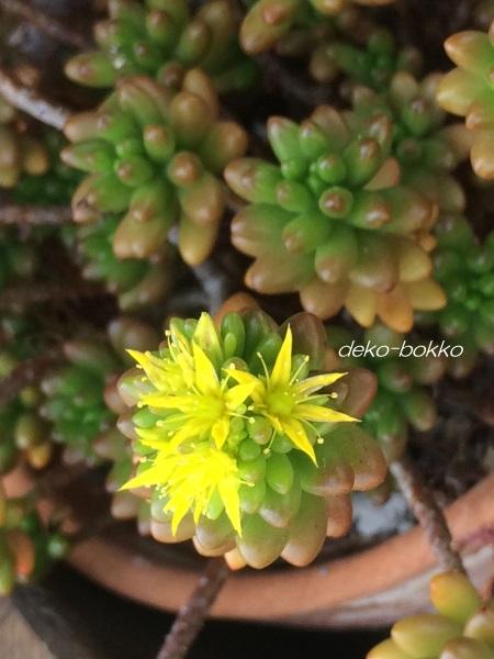虹の玉 開花 201606